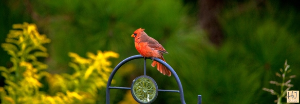 Male Northern Cardinal --- Click on image to see enlargement ---