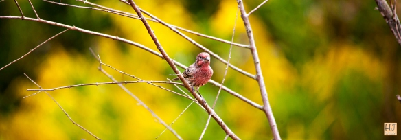 Male House Finch --- Click on image to see enlargement ---