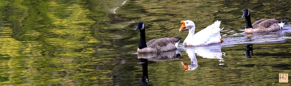 Geese --- Click on image to see enlargement ---