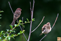 House Finch (M & F)