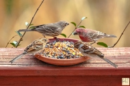 House Finch, Field Sparrow