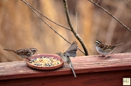 Song Sparrow, Field Sparrow, White-throated Sparrow