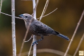 Brown-headed Cowbird (F)