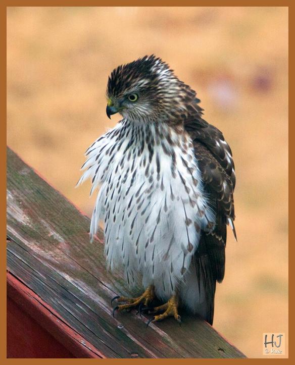 ---Cooper's Hawk ---