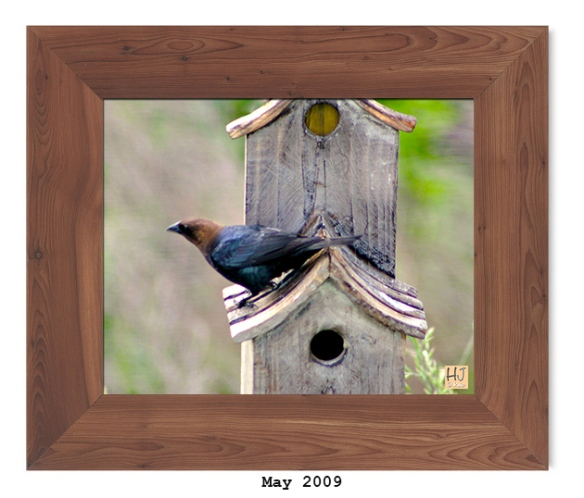 Brown-headed Cowbird - May 2009