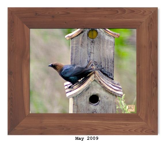 Brown-headed Cowbird - May 2009