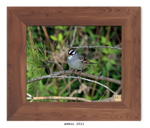 White -crowned Sparrow -- April 2011