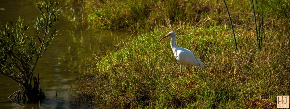 --- White Ibis --- Click on image to see enlargement ---