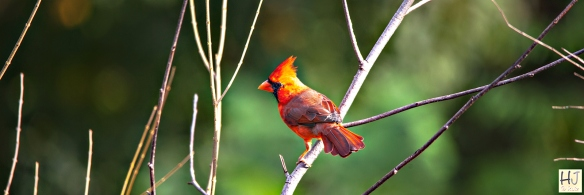 --- Northern Cardinal (M) --- Click on image to see enlargement ---