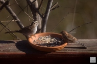 White-throated Sparrow and Field Sparrow