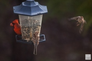 Northern Cardinal (M) & Field Sparrow