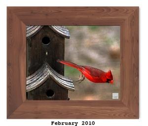 Northern Cardinal -- Feb. 2010 --