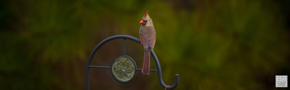 --- Northern Cardinal (F) --- Click on image to see enlargement ---