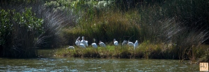 Group of Ibises --- Click on image to see enlargement ---