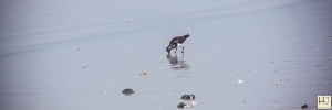 Ruddy Turnstone --- Click on image to see enlargement ---