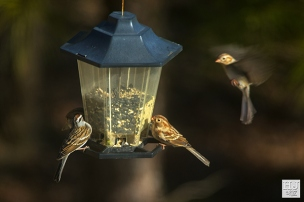 Chipping Sparrow, Field Sparrows