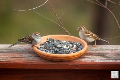 Chipping Sparrow and Field Sparrow