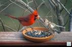 N. Cardinal, Field Sparrow