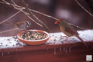 White-throated Sparrow and Northern Cardinal (F)