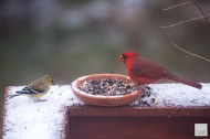 American Goldfinch and Northern Cardinal