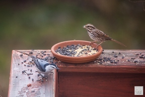 White-breasted Nuthatch and Savannah Sparrow