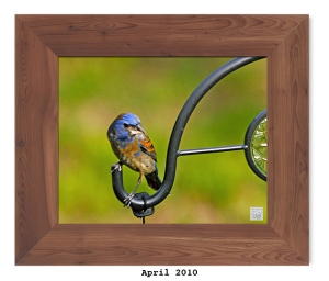 Blue Grosbeak -- Apr. 2010