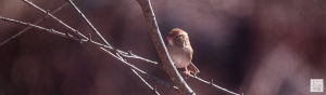 Field Sparrow --- Click on image to see enlargement ---