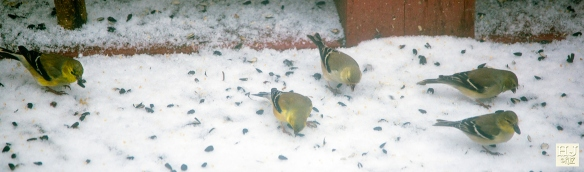 American Goldfinches --- Click on image to see enlargement ---