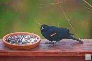 Red-winged Blackbird (M)