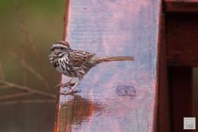 Song Sparrow (rainy)