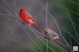 Northern Cardinals (M&F)