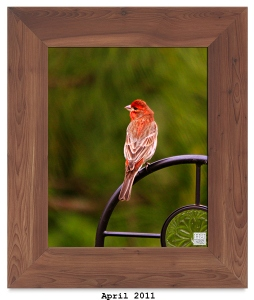 House Finch (M) -- Apr. 2011