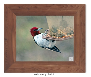 Red-headed Woodpecker -- Feb. 2010