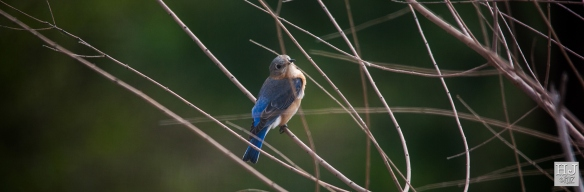 Eastern Bluebird (F) --- Click on image to see enlargement ---
