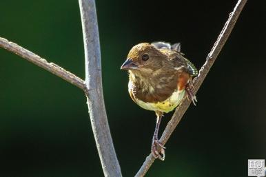 Female juvenile