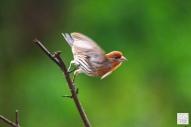 House Sparrow (Yellow)