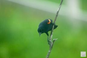 Red-wingued Blackbird