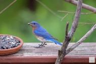 E. Bluebird (M)