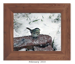 Song Sparrow -- Feb. 2010