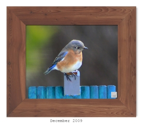 Eastern Bluebird -- Dec. 2009