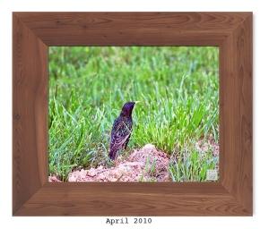 European Starling -- Apr. 2010 --
