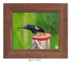 Red-winged Blackbird -- Apr. 2011 --