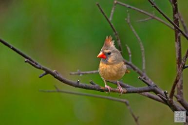 Northern Cardinal (F)