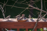 House Finch - Family