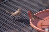 House Finch - Fledgling and dad