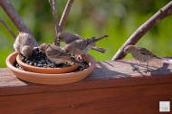 House Finch (Family)