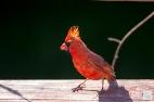 Northern Cardinal (M-F)