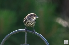 Red-winged Blackbird (F-F)