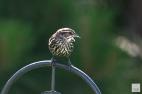 Red-winged Blackbird (F-F)