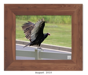 Turkey Vulture -- Aug. 2010